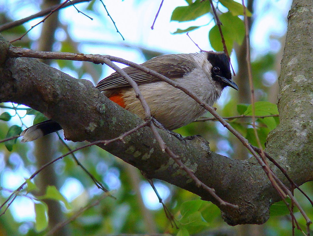 Sooty-headed_Bulbul-smaller